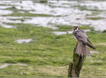 Photo d'un faucon hobereau par Smudge 9000 - flickr - CC0