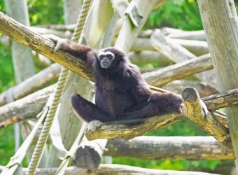 Photo d'un gibbon lar par Pierre-François BOUCHER