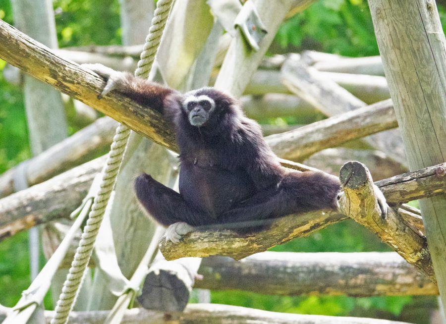 Photo d'un gibbon lar par Pierre-François BOUCHER