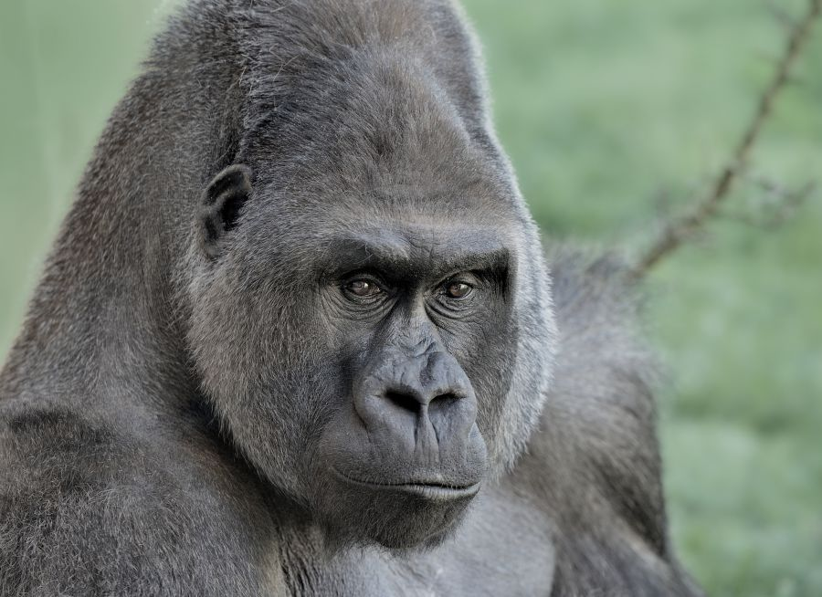 Photo d'un gorille de plaine en gros plan par Thomas PIERRE