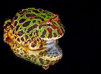 Photo d'une grenouille cornue ornée par Kaz - Pixabay - CC0