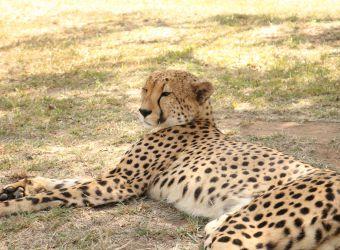 Photo d'un guépard couché par Florent PUCHOT