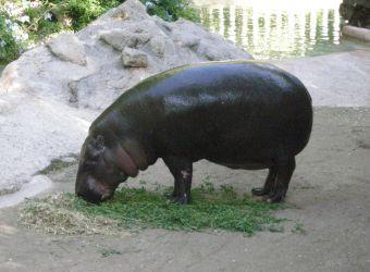 Photo d'un hippopotame nain par Julien PIERRE