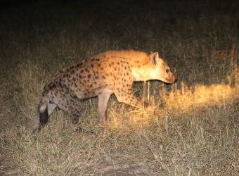 Photo d'une hyène tachetée de nuit dans la savane par Florent PUCHOT