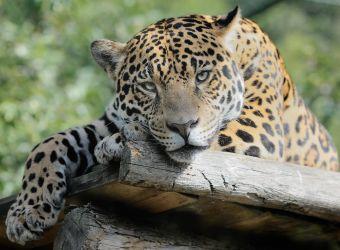 Photo d'un jaguar par Thomas PIERRE