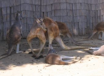 Photo d'un groupe de kangourous roux par Julien PIERRE