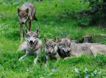 Quatre loups gris vus de face couchés dans l'herbe par Thomas PIERRE