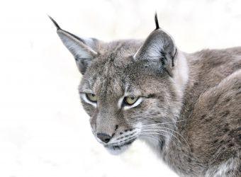 Photo d'un lynx boréal par Thomas PIERRE