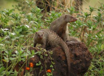 Photo de deux mangoustes rayées par Florent PUCHOT