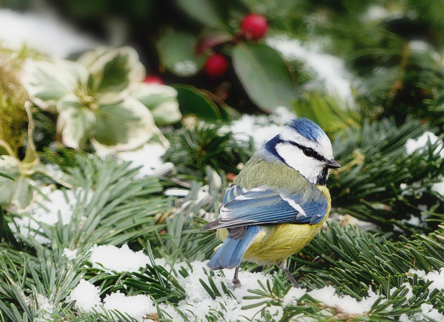 Photo d'une mésange bleue par Oldiefan - Pixabay - CC0