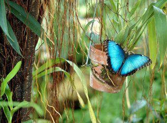 Photo d'un papillon morpho bleu par paulbr75 - Pixabay - CC0