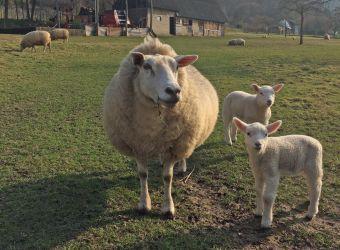 Photo d'une brebis et deux agneaux par Julien PIERRE