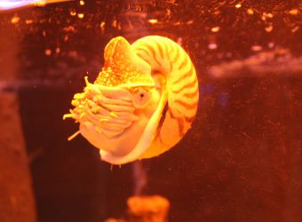 Photo d'un nautile par Fanny GOUMARD