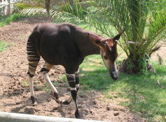 Photo d'un okapi par Julien PIERRE