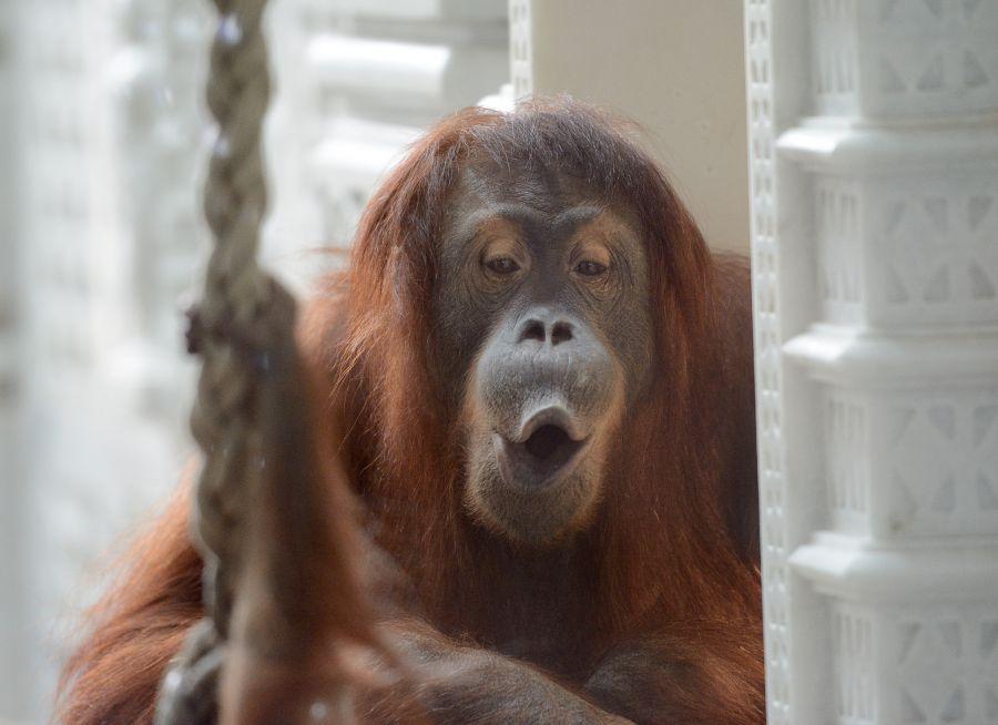 Photo d'une femelle orang-outan par Thomas PIERRE