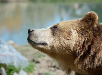 Photo d'un ours brun par Thomas PIERRE