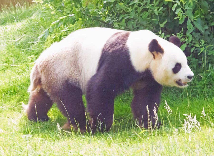 Photo d'un panda géant de Chine par Pierre-François BOUCHER