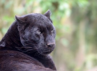 Photo d'une panthère noire par Thomas PIERRE