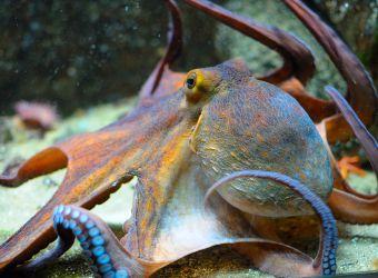 Photo d'une pieuvre commune par Thomas PIERRE