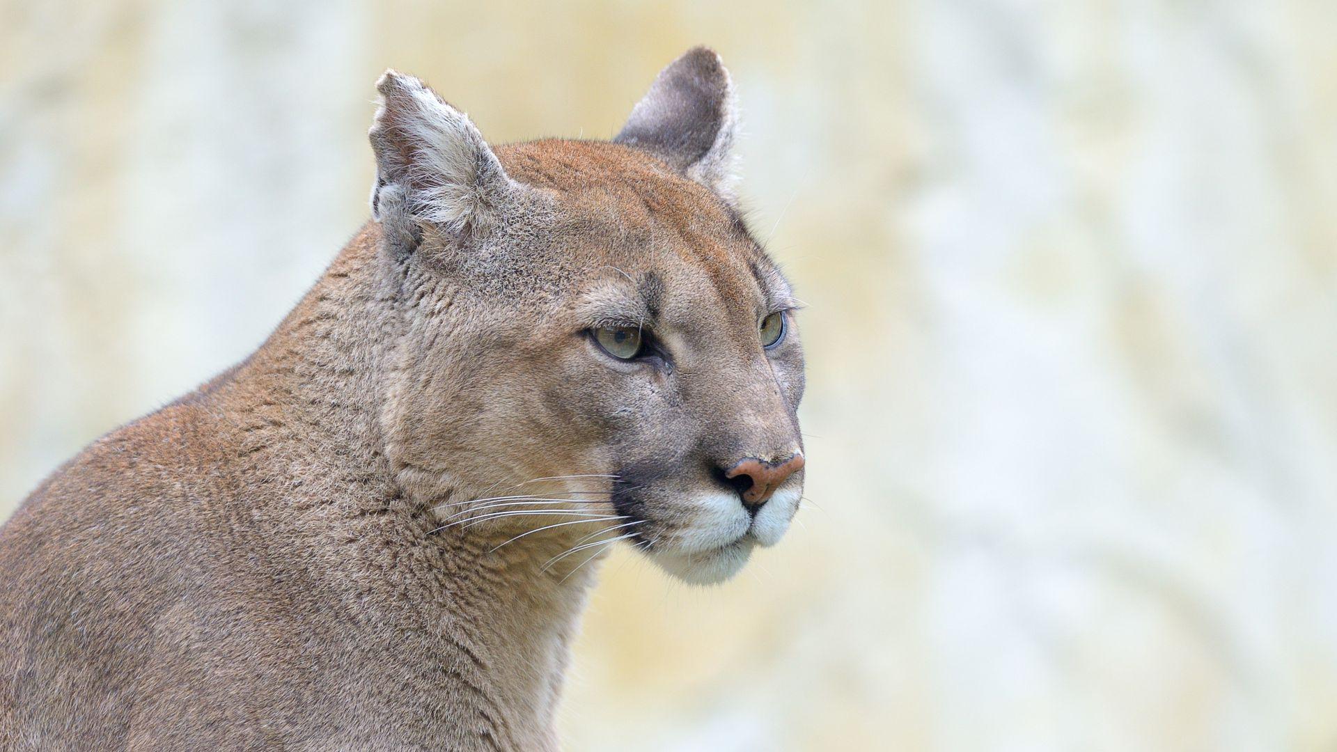 Puma : taille, description, biotope, habitat, reproduction