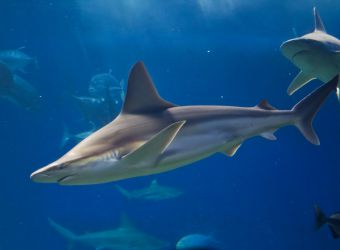 Photo d'un requin gris par R Joe Boyd - flickr - CC0