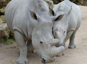 Photo d'un rhinocéros blanc et son petit par Thomas PIERRE