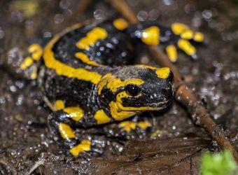 Photo d'une salamandre tachetée par Kathy2408 - Pixabay - CC0