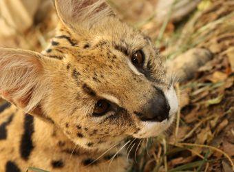 Photo d'un serval par Florent PUCHOT
