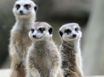 Photo de suricates par Thomas PIERRE