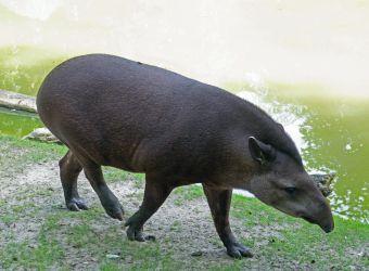 Photo d'un tapir du Brésil par Pierre-François BOUCHER
