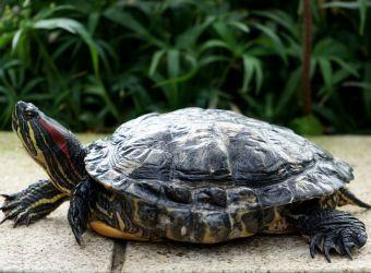 Photo d'une tortue de Floride par Barni1 - Pixabay - CC0
