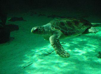 Photo d'une tortue verte par Julien PIERRE