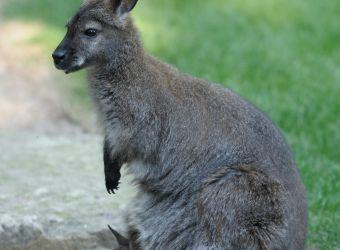Photo d'un wallaby de Bennett et son petit par Thomas PIERRE