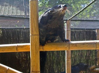 Photo d'un binturong par Julien PIERRE