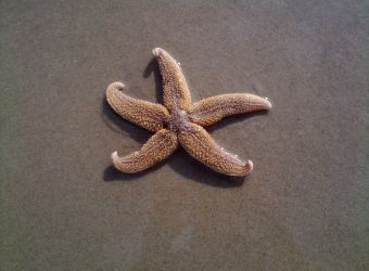 Photo d'une étoile de mer commune sur la plage par baerbel_n - Pixabay - CC0