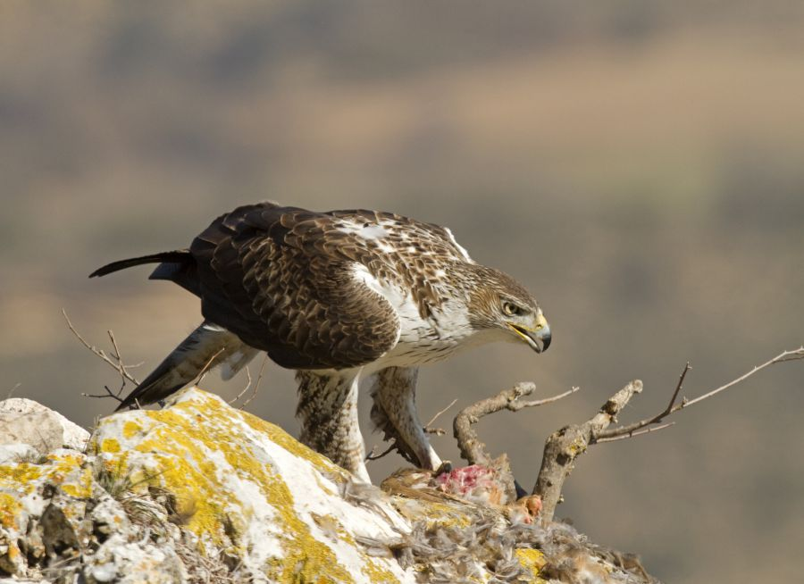 Photo d'un aigle de Bonelli dévorant une proie