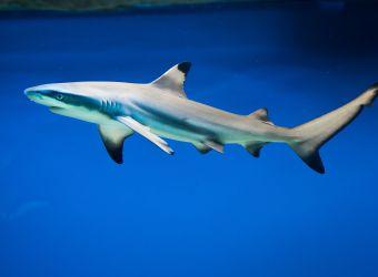 Photo d'un requin à pointes noires