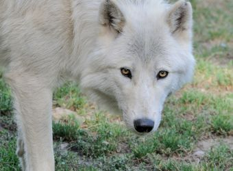 Photo d'un loup blanc arctique par Thomas PIERRE