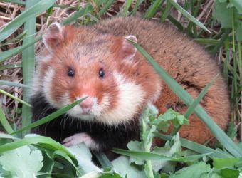 Photo d'un grand hamster par Bogomolov-PL - Wikimedia Commons - CC BY-SA 4-0