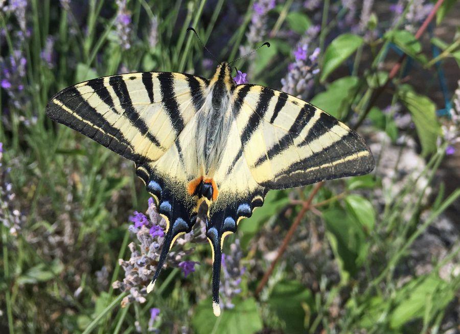 Photo d'un papillon Flambé par Julien PIERRE
