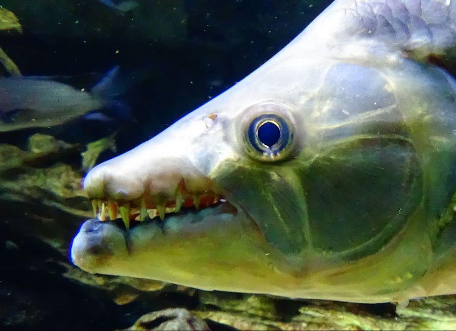 Un poisson-tigre géant à l'Aquarium Tropical de la Porte Dorée